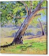Eucalyptus Tree Australia Canvas Print