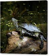 European Pond Turtle Sitting On A Trunk In A Pond Canvas Print