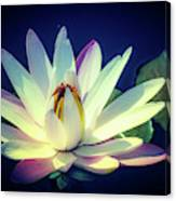 Evening Water Lily Canvas Print
