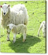 Ewe With Lambs Canvas Print