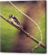 Faded Canvas Woodpecker Canvas Print