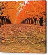 Fall Cherry Trees Canvas Print