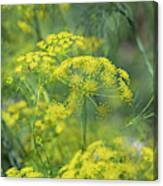 False Fennel In Flower Canvas Print