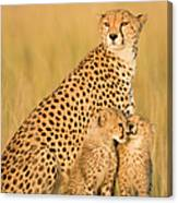 Female Cheetah Acynonix Jubatus With Canvas Print