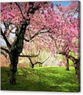 Cherry Orchard Afternoon Canvas Print