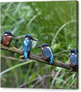 Four Kingfishers On Branch Canvas Print