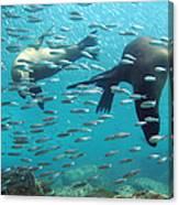 Galapagos Sea Lion Canvas Print