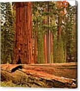 General Grant Grove Trees Canvas Print