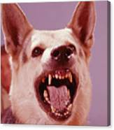 German Shepherd Dog Snarling Canvas Print