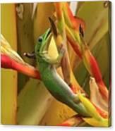 Gold Dust Gecko  Canvas Print