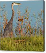 Great Blue Heron Looking For Food Canvas Print