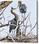 Great Blue Heron Rookery 4 Canvas Print