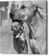 Great Dane Holding Chihuahua In Purse Canvas Print