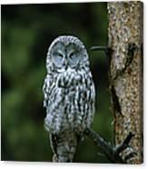 Great Gray Owl Strix Nebulosa On Perch Canvas Print