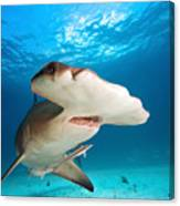 Great Hammerhead Canvas Print