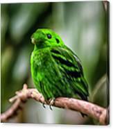 Green Broadbill Canvas Print