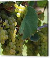 Green Grapes On The Vine 10 Canvas Print