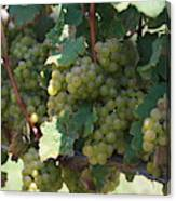 Green Grapes On The Vine 18 Canvas Print