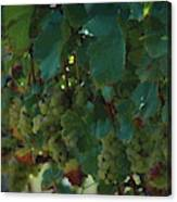 Green Grapes On The Vine 4 Canvas Print