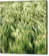Green Growing Wheat Canvas Print