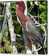 Green Heron In The Glades Canvas Print