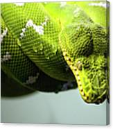 Green Snake Curled And Resting Canvas Print