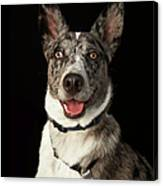 Grey And White Australian Shepherd With Canvas Print