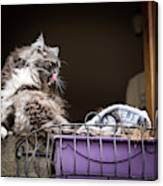 Grey Long Haired Cat Sitting On A Window Sill Canvas Print