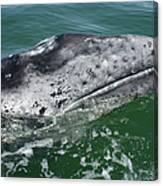 Grey Whale Head Canvas Print