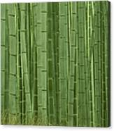 Grove Of Bamboo Trees Phyllostachys Canvas Print