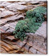Growing From The Rock Terrain In Zion  Canvas Print