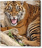 Growling Tiger Canvas Print