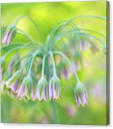 Sicilian Honey Lily Canvas Print