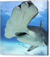 Hammerhead Shark Canvas Print