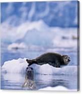 Harbor Seal Phoca Vitulina In Glacial Canvas Print