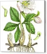 Hellebore Botanical Engraving 1857 Canvas Print