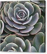 Hens And Chicks Plant Full Frame Canvas Print
