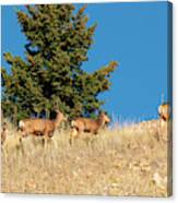 Herd Of Colorado Deer Canvas Print