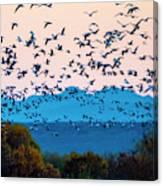 Herd Of Snow Geese In Flight, Soccoro Canvas Print