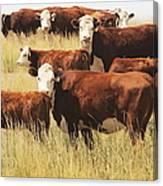 Hereford Cow Farm Pasture Livestock Canvas Print