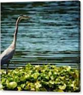 Heron In The Lily Pads Canvas Print