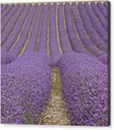 Hitchin Lavender Canvas Print