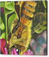 Honey Bee On Mexican Heather Canvas Print
