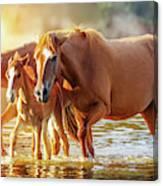 Horse Family Walking In Lake At Sunrise Canvas Print