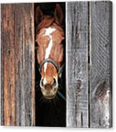 Horse Peeking Out Of The Barn Door Canvas Print