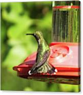 Hummingbird 106 Canvas Print