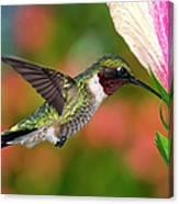 Hummingbird Feeding On Hibiscus Canvas Print