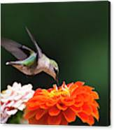 Hummingbird In Flight With Orange Zinnia Flower Canvas Print