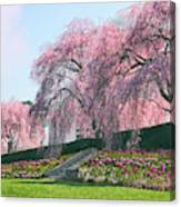 Weeping Spring Cherry  Canvas Print