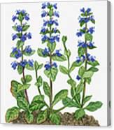 Illustration Of Ajuga Reptans Blue Canvas Print